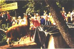 Ein Lama auf Reiswerder