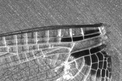 Detail Libellenflügel Foto: Svenja Steinfelder